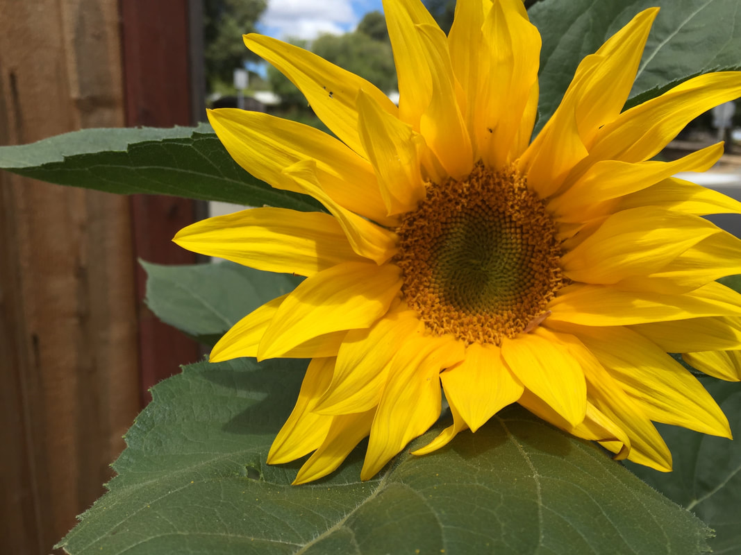 sunflower mature singles Also known as common sunflower and annual sunflower pollenless and day neutral single stem ht 70-80 avg 560 seeds/oz (require two years to mature.