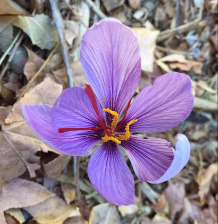 Saffron Crocus The Daily Garden