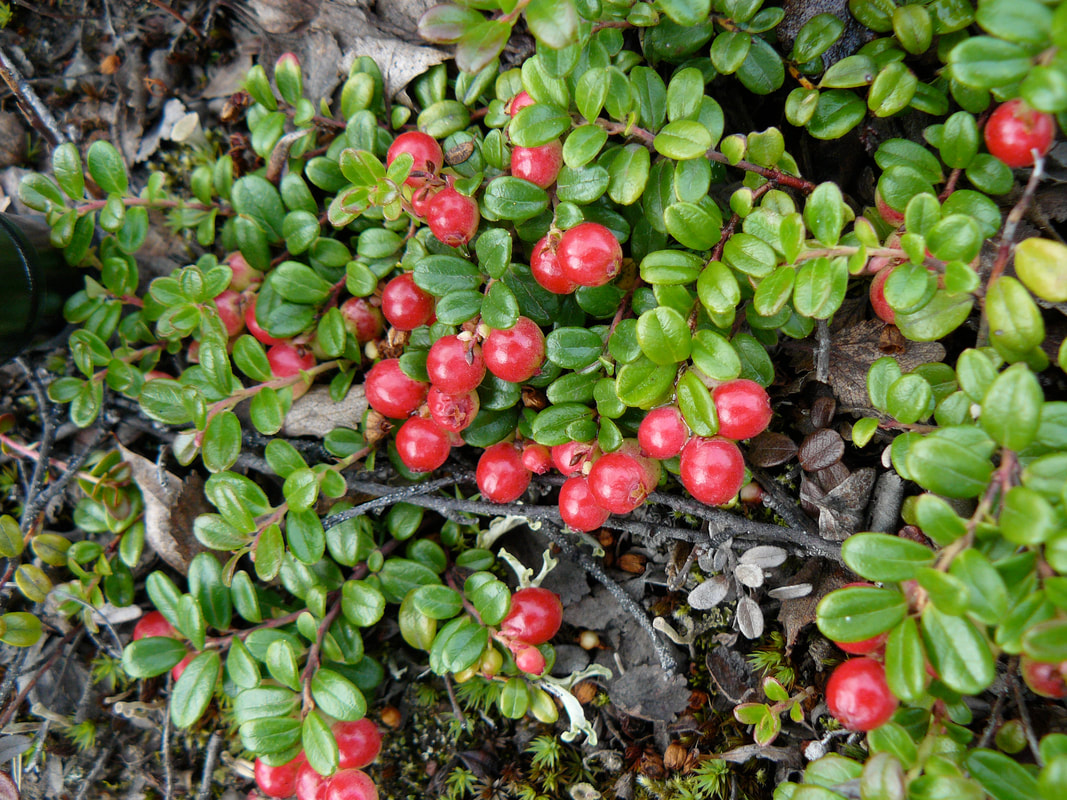 Prostrate lingonberry shrub with small green oval leaves and bright red round berries.