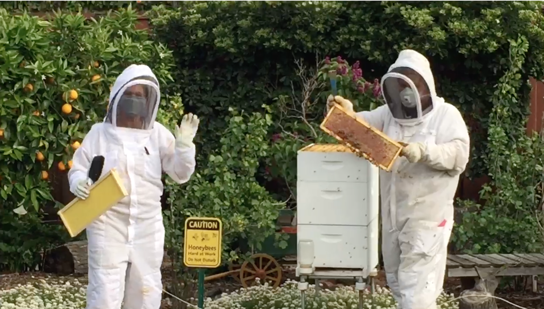 Orange trees and shrubs in the background. Two beekeepers working a hive in the foreground.