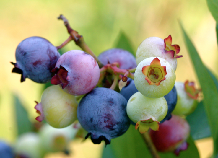 Blurred green background highlights a cluster of ripe and unripe blueberries, ranging from pale green to reddish purple and dark blue.