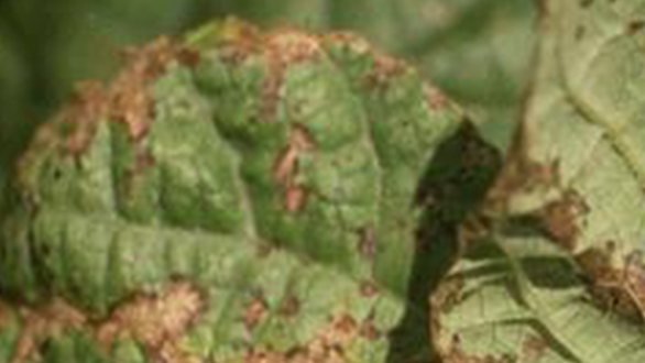 Close-up of the top and bottom of two bean leaves infected with curly top, exhibiting characteristic browed edges and dead areas across the surface of the leaf.