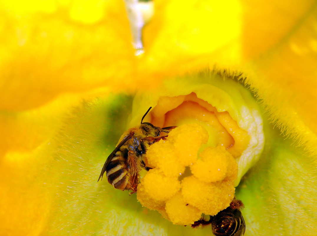 Close-up of bright yellow female squash flower with squash bee
