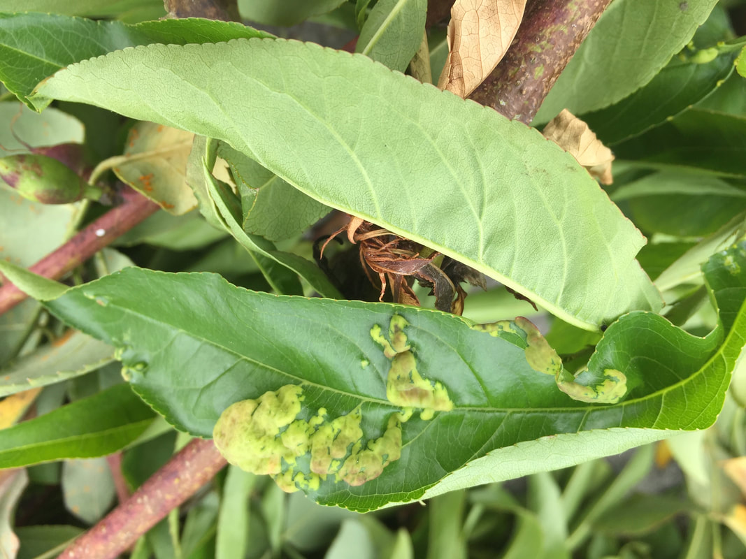 Warty patches on nectarine leaf indicate peach leaf curl infection
