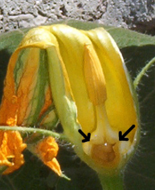 Cut-away close-up of green and yellow male squash flower
