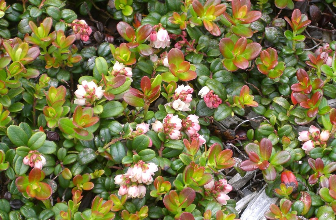 Dense growth of lingonberry shrub with dark green and reddish to pale green leaves and clusters of white and pink bell-shaped flowers.