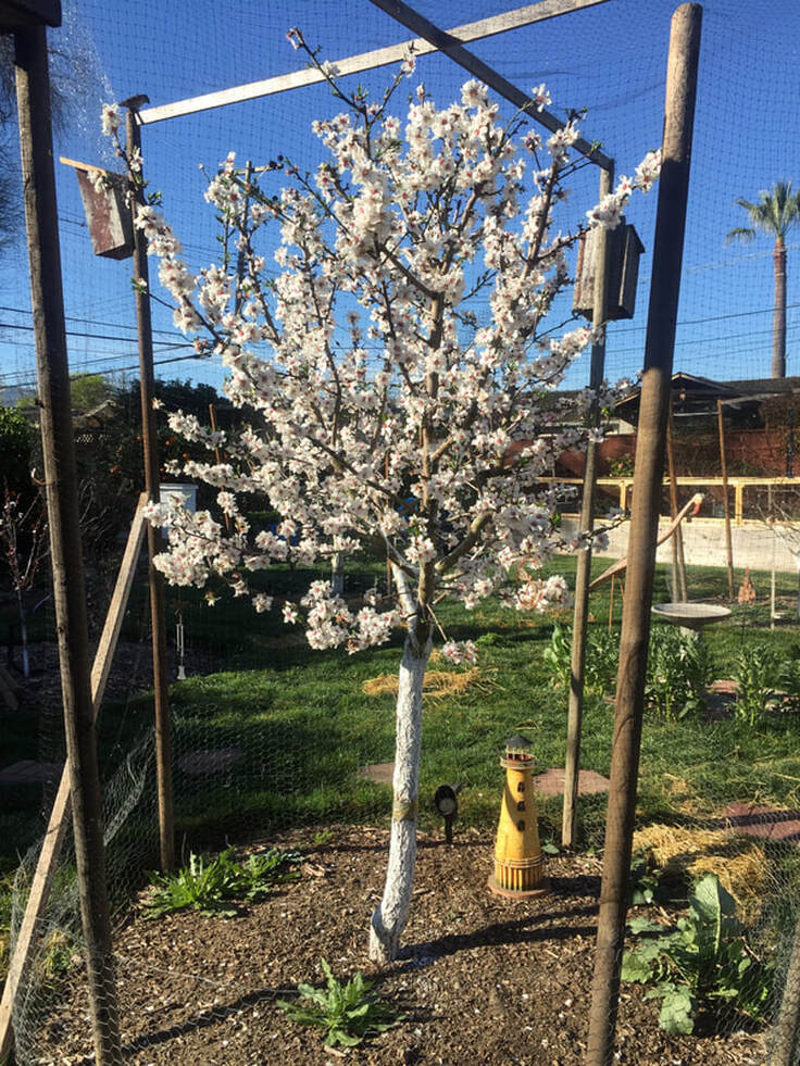 Dwarf almond tree covered with white blossoms. Tree is in a tree cage with a bird house at the top of one post and a decorative yellow lighthouse near the trunk of the tree. Lawn, raised beds, and sky in the background