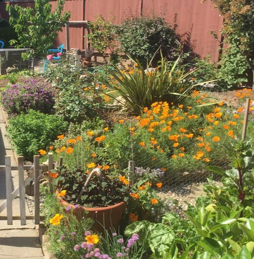 The same California backyard planting area under full sun with orange poppies and purple lavender in foreground showing with a red wooden fence in the background. Image taken at 10AM in May.
