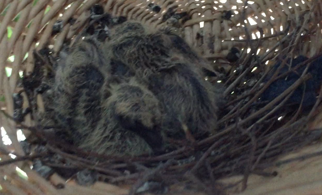 Two partially feathered baby Baraby dove chicks in a basket nest.