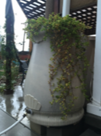 Grey rain barrel with plants cascading down the right-hand side, with white downspout all under latticed pergola