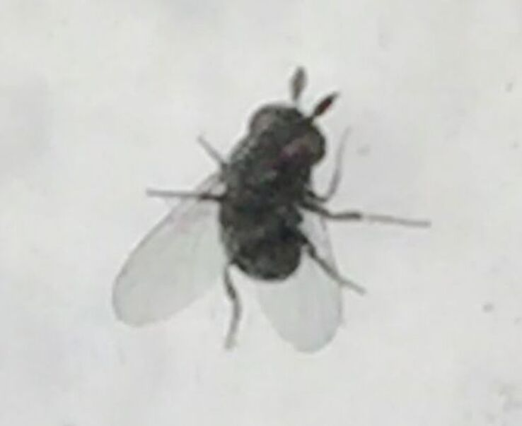 Underside view of small black fly.