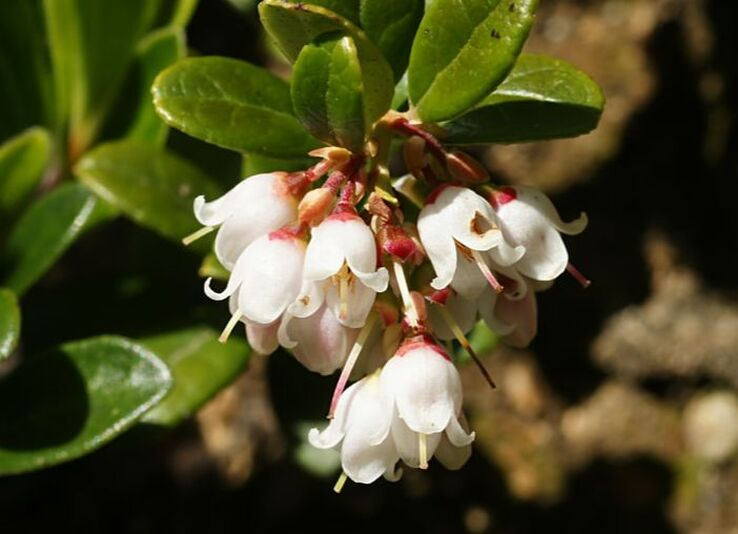 Cluster of white, bell-shaped lingonberry flowers hanging under and in front of dark green oval leaves