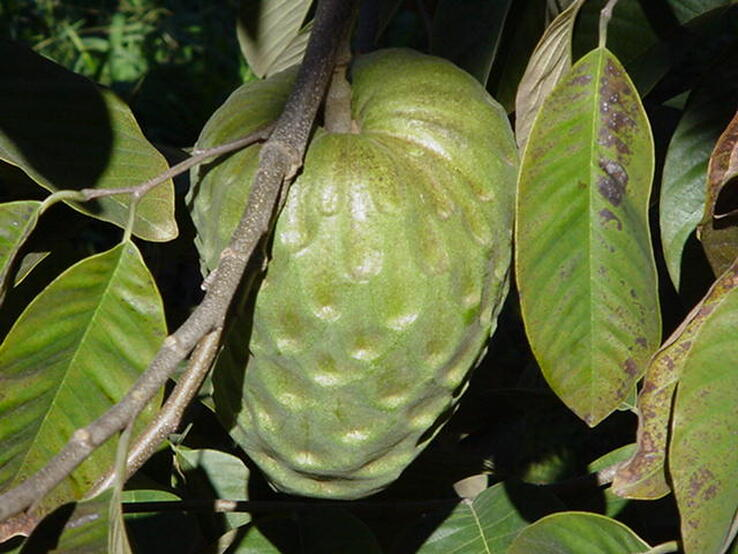 Inner canopy view of green, indented cherimoya fruit, green, oblong leaves showing some discoloration and insect feeding damage, and thin greyish-brown stems