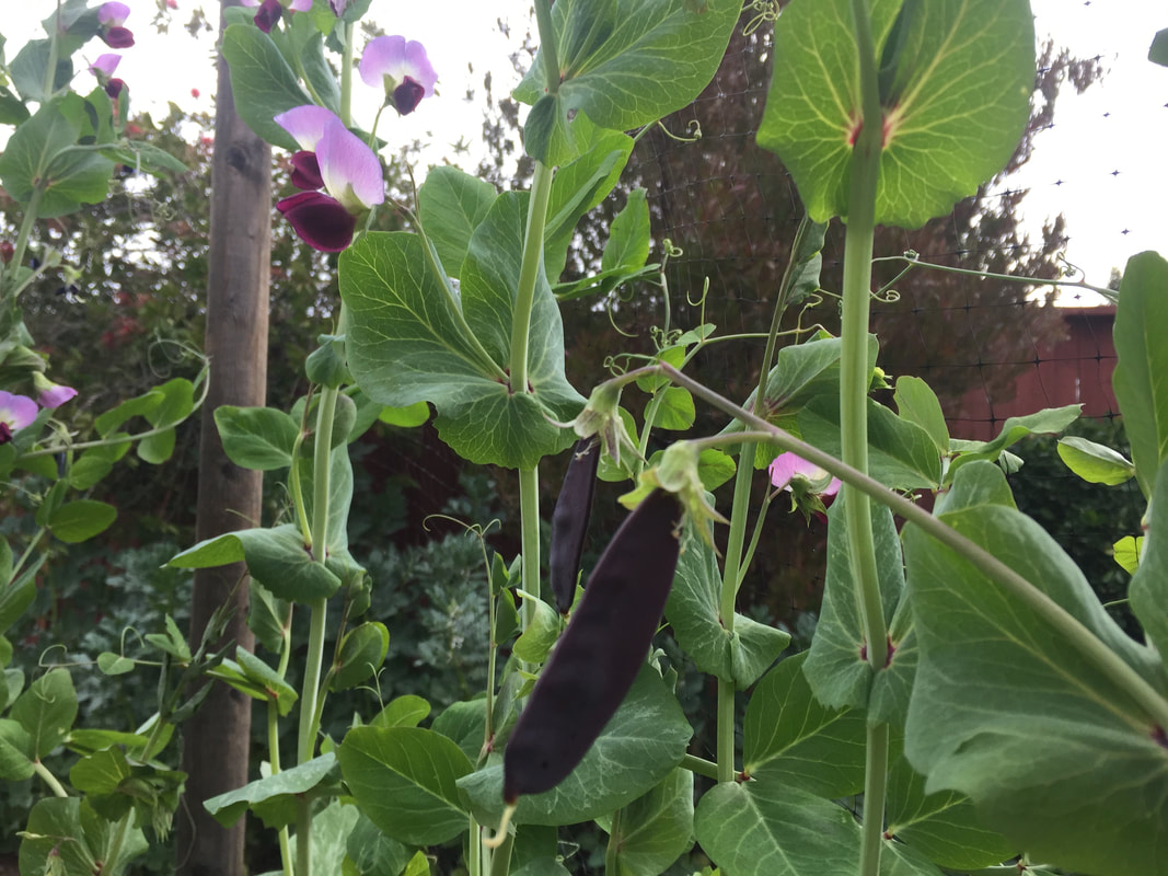 Close-up of purple-podded pea plants with green leaves, stems and tendrils.