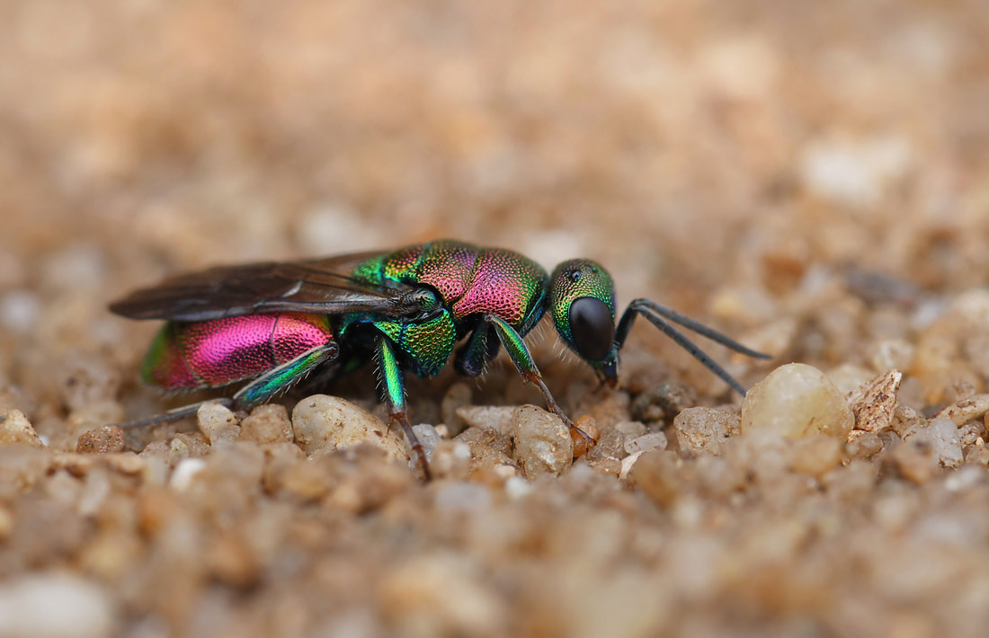 Close-up of metallic green and pink ruby cuckoo wasp standing on sand
