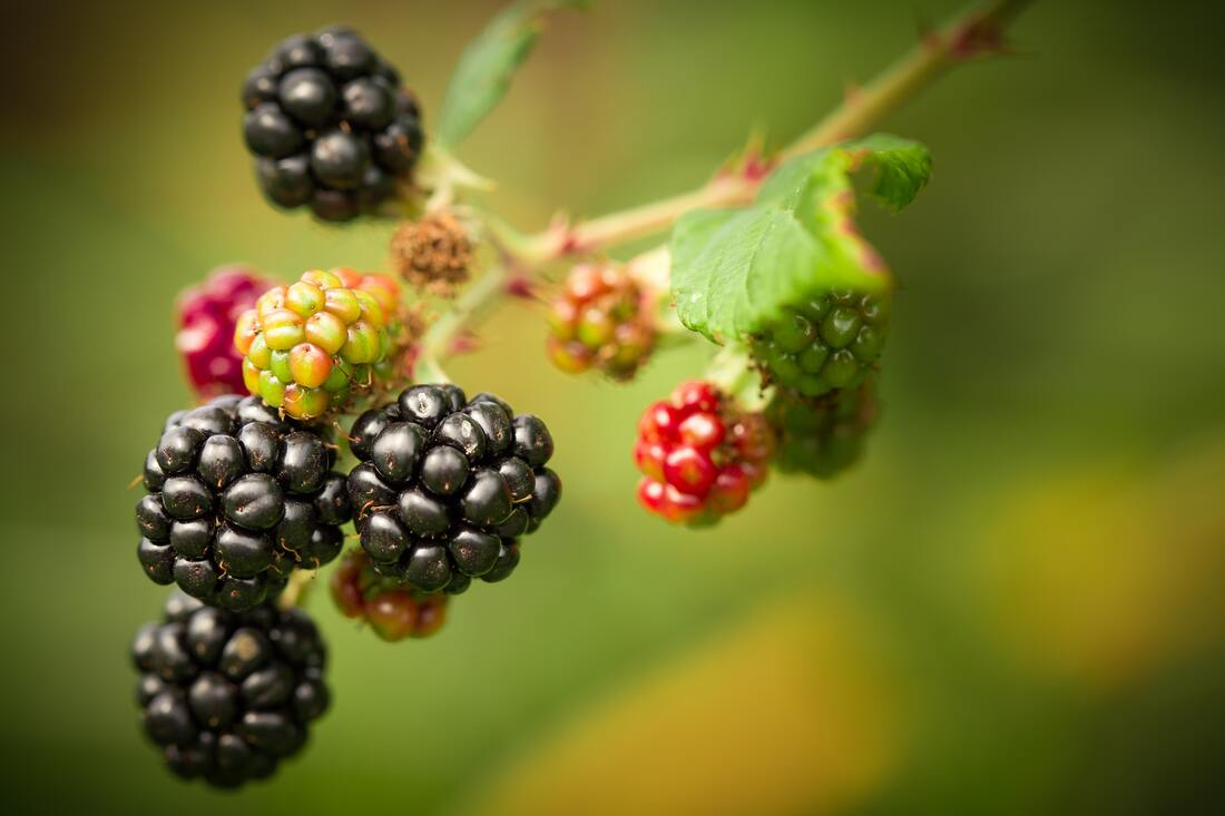 Blurred greenish yellow background with ripe purple, mid-ride red, and unripe green blackberries clustered on stem.