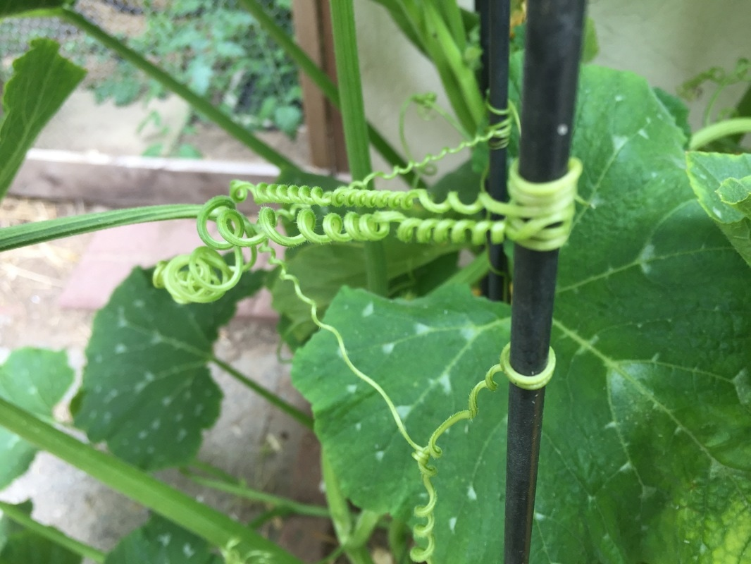 Tendrils - The Daily Garden