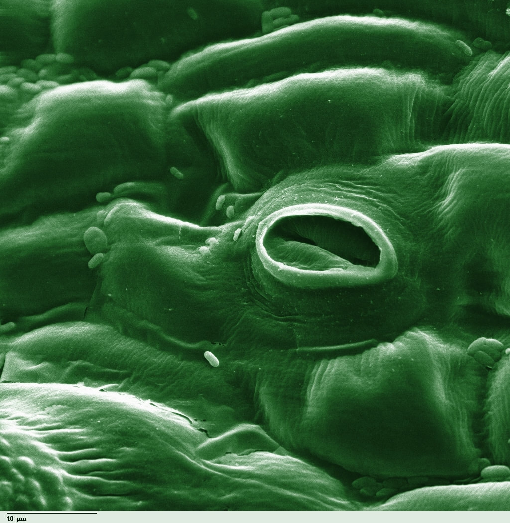 Electron microscope image of plant stomata shows oval opening in undulating plant tissue